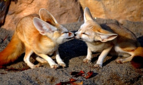 Foxy Love Kisses via:cutestpaw