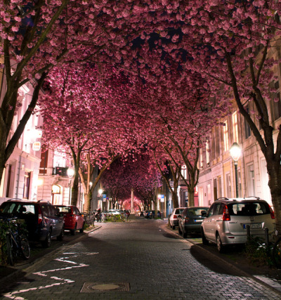 cordura:  Cherry Blossoms in Bonn, Germany