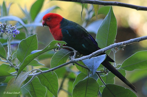 Male King Parrot (Alisterus scapularis) in the hilly hinterlands behind Gold Coast, Eastern Australia.