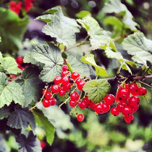 #nature #berrys #berry #green #red #ouside #sunny #camera #slrcamera #nice #bush #fruits #fruit #jummy #outdoor #wilderness (Taken with instagram)