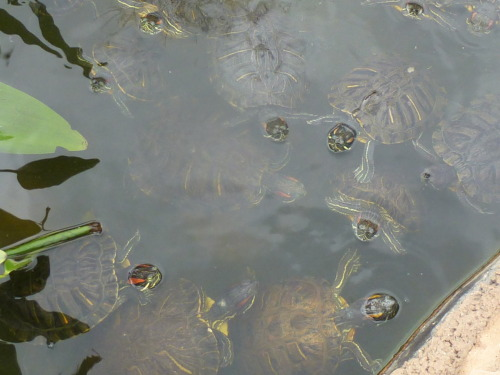buggirl:  The turtles at CSUN are rather hungry.  You can buy them food for a quarter and feed the Koi and ducks too!  I love my school.