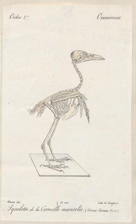 Skeleton of a Hooded Crow (Corvus cornix)
