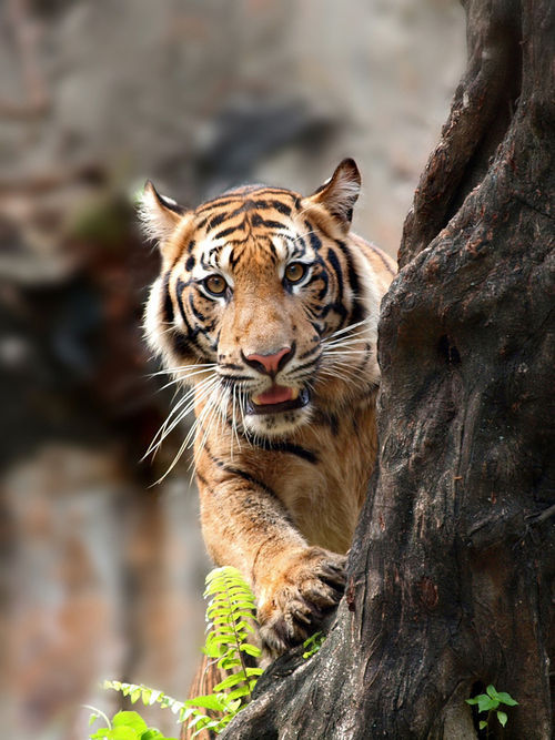 tigers are amazing
