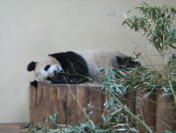 Female Giant Panda does what it does most - relaxing on her bed-platform while chewing on some bamboo