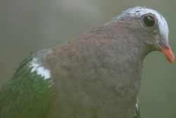 The green-winged dove (Chalcophaps indica) is known by a variety of other names such as the emerald dove, green-backed dove or green pigeon.