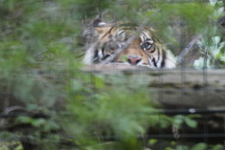 Sumatran Tiger peers out of its secondary enclosure, away from the crowds at the main viewing window.