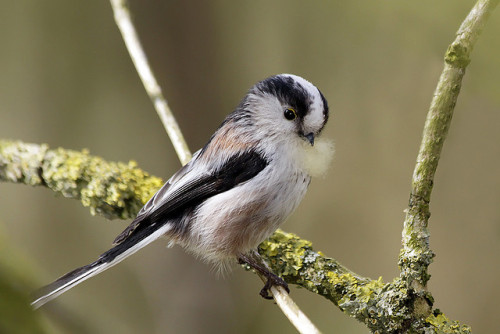 fairy-wren:  long-tailed tit gathering nesting material (photo by roeselien raimond)