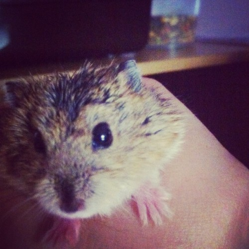The noisy rat is in the house ! :D #terrible #lovely #cute #hamster (Taken with instagram)
