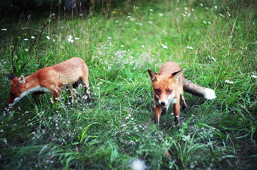 definitelydope:  fox (by rrrtem)
