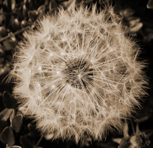eclcticstorm:  Dandelion clock in sepia. Photo. Adrianna Miller