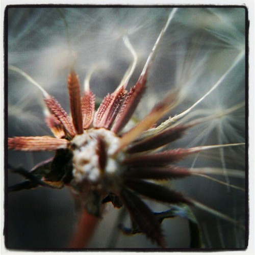 #macro of #dandelion #flower #seeds attached to #seedhead (Taken with Instagram at Tonto National Forest)