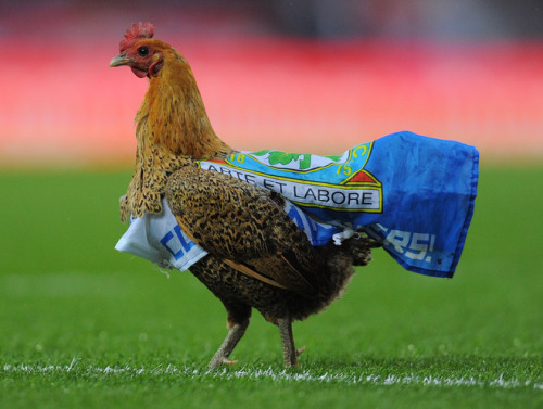 ladies and gentleman here is the blackburn chicken