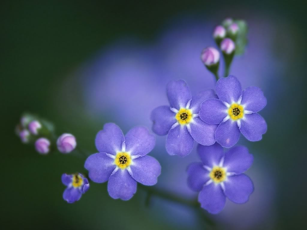 "Forget-me-nots are members of the Borgainaceae family, also known as the Borage or Forget-me-not family. Most members of this family have hairy leaves. Henry Wadsworth Longfellow in Evangeline:  ""Silently, one by one, in the infinite meadows of Heaven, Blossom the lovely stars, the forget-me-nots of the angels."""