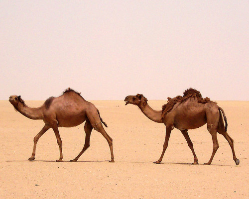 Camels - Jahrah Desert, Kuwait by QuiteLucid on Flickr. Jahrah Desert, Kuwait. Do these guys look grumpy? They were - did you know that camels growl? It's not a pretty sound…