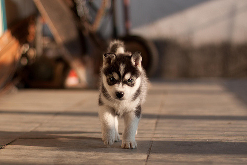 I want to raise a Husky from a pup, so we grow together…