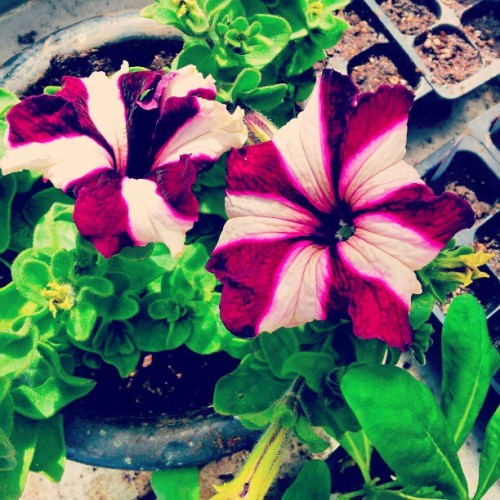 #flower #blossom #nature #plant #plants #beautiful #color #colour #pretty #garden #green #petal #petals #stem #tagstagram #flowers #macro_flower #flora #floralstyles_gf #flowerporn #flowermagic #flowerpop #flor #flores #fiori (Taken with instagram)