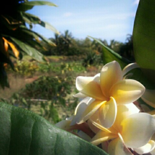 #plumeria #instagramhi #hiig #hawaii (Taken with Instagram at Pearl City Bike Trail)