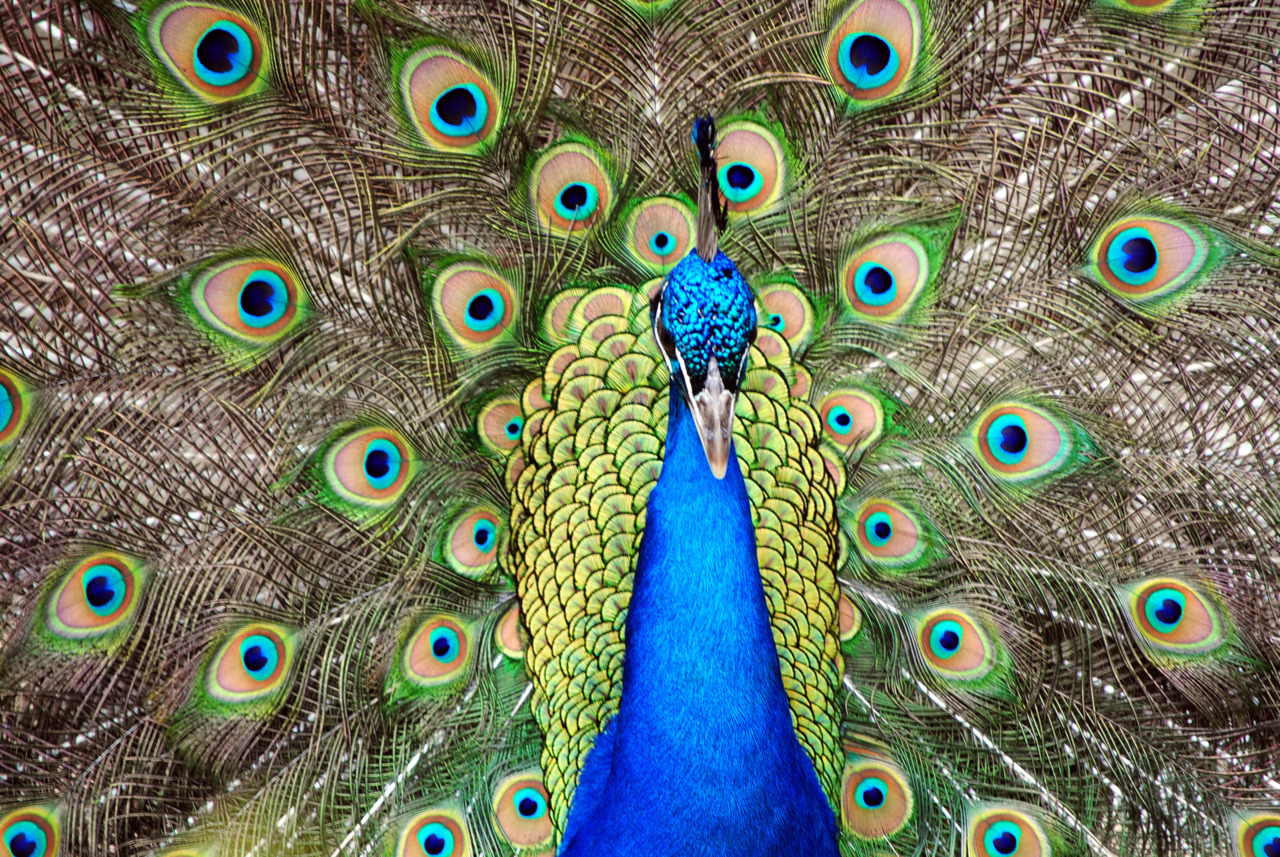 sdzoo:  Beautiful submission, thanks! Fun fact: A group of peafowl is called an ostentation, or a pride—very appropriate for this showy bird.