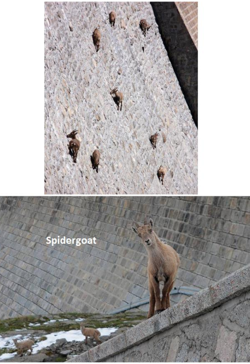 the-absolute-funniest-posts:  cookiephantom: Badass Spidergoats! Follow this blog, you will love it on your dashboard