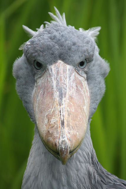gettingtoknowbrian:  fat-birds:  Shoebill (Balaeniceps rex) by bayucca (busy) on Flickr. This is the shoebill. He obviously didn't get the memo that birds can't steal clogs to use as beaks.  thats a crazy, crazy beak  Hilarious