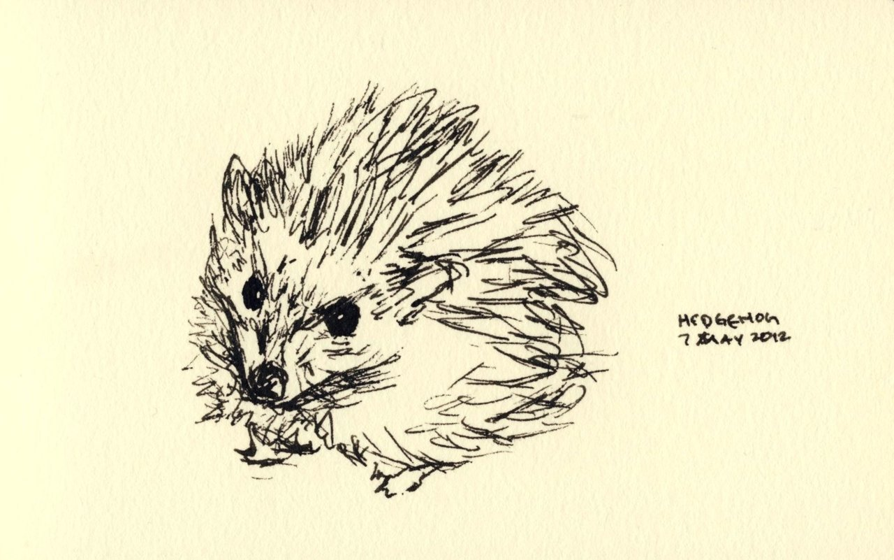 30 Days of Sketches: Day 29Hedgehog 10 minutes, sketchbook, fine-point uni-ball Vision Needle.  A hedgehog is any of the spiny mammals of the subfamily Erinaceinae and the order Erinaceomorpha. There are 17 species of hedgehog in five genera, found through parts of Europe, Asia, Africa, and New Zealand (by introduction). There are no hedgehogs native to Australia, and no living species native to the Americas. Hedgehogs share distant ancestry with shrews (order Soricidae), with gymnures possibly being the intermediate link, and have changed little over the last 15 million years. Like many of the first mammals they have adapted to a nocturnal, insectivorous way of life. Hedgehogs' spiny protection resembles that of the unrelated rodent porcupines and monotreme echidnas.  Hedgehogs are my favorite animal that i am not legally allowed to own. You see, in my state of Georgia in the United States, one is not allowed to own a hedgehog as a pet! However, you can get a licence to breed hedgehogs. I would so get a hedgehog like that if i were legally allowed to. Man. For real. Love those hedgehogs. They also have an uncanny ability to be adorable while at the same time always appearing a little angry.