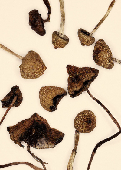 "ilivelikeoldppl:  Psilocybe semilanceata ""Liberty cap"" by farmer dodds on Flickr."