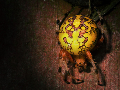 Marbled Orb Weaver submitted by lopshirephotography