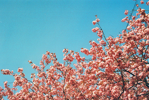 saintofkillers:  Kodak Retinette Film Series - 4/32 - Blue sky and blossom (by Douglas Herbert)