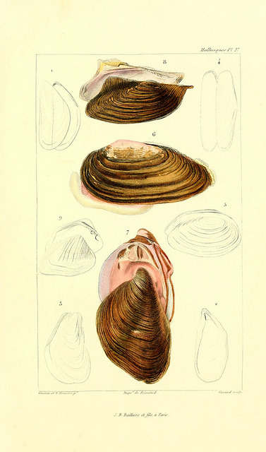Bivalves by BioDivLibrary on Flickr. Les mollusques :. Paris :J. B. Baillière,1868..biodiversitylibrary.org/page/11652627