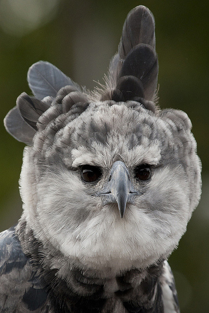 Toruk the harpy eagle on Flickr.Early South American explorers named these great birds after Harpyja, the predatory half-woman, half-bird monster of Greek mythology.