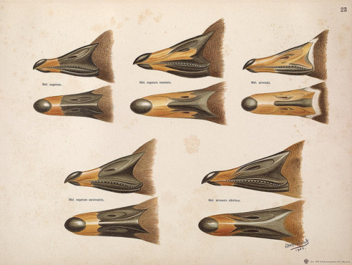 Goose beaks by BioDivLibrary on Flickr. The geese of Europe and Asia;.London,R. Ward, Ltd.,1905..biodiversitylibrary.org/page/39632002
