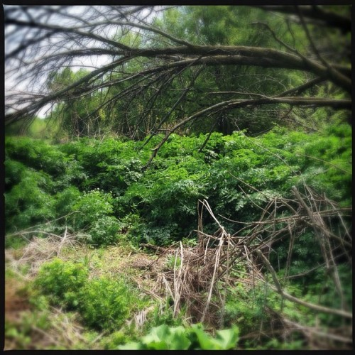 Holy Hemlock, Batman. #Foraging #Poison #DoNotTouch (Taken with Instagram at Trillium Haven Farms)