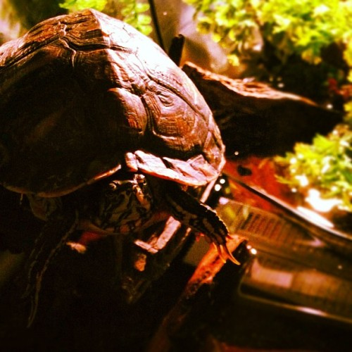 Turtle #instagram #tiltshift #iphone  (Taken with instagram)