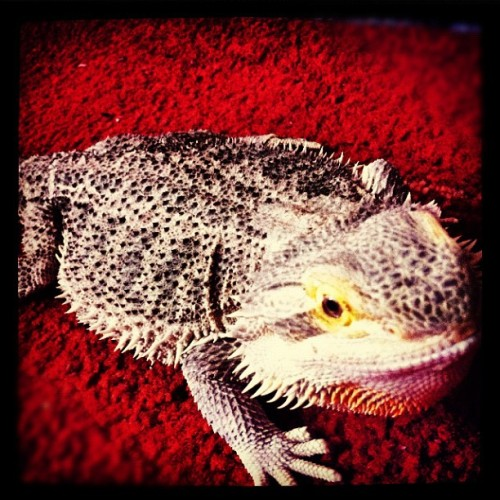 LIZZY #lizard #reptile #blue #blood #newcastle #gateshead #spike #grr #lovely #pet #sandy  (Taken with Instagram at Gateshead)