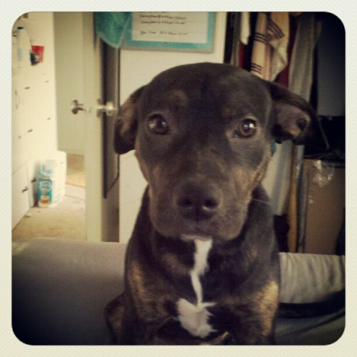 My Bebe girl #cute #pitbull #dayoff #fun  (Taken with instagram)