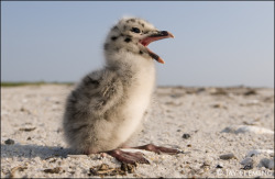 Great Black Backed Gull Chick Photo by Jay Fleming