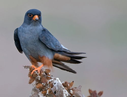 this bird means business.  prettybirds:  Red-Footed Falcon