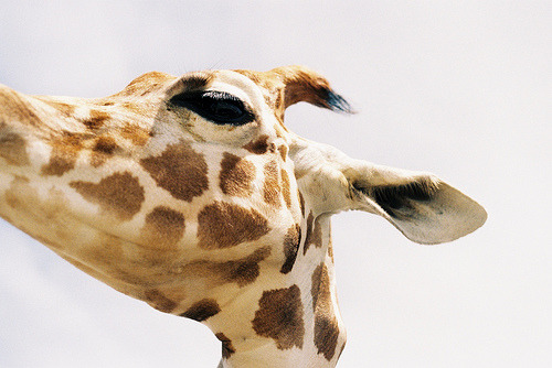 -scenery:  Keep calm as a giraffe. (by . Entrer dans le rêve) My sister and I both love Giraffes. :) <3
