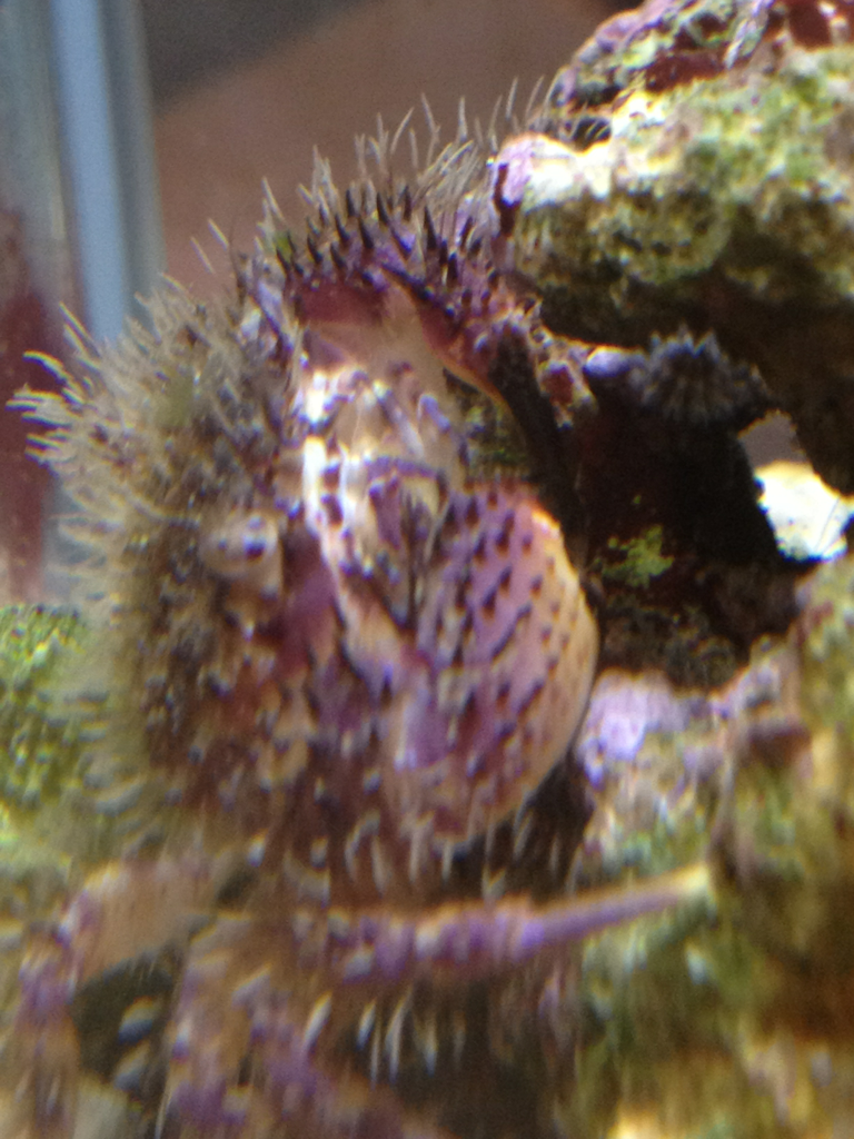 surfridergames:  Guerilla Crab in Spec Tank