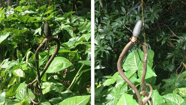 Australian Snake Eating Spider Australian Snake Eating Spider