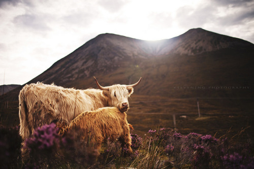 absolutescotland:  Moooooo? \|ii| by ng.kelven on Flickr.