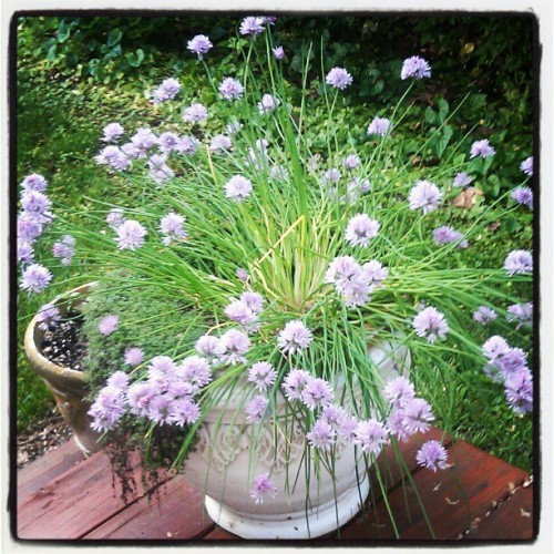 Chives as part of the edible landscape. (Taken with instagram)