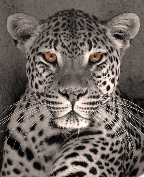 worldlyanimals:  Leopard Eyes (sunspotimages)