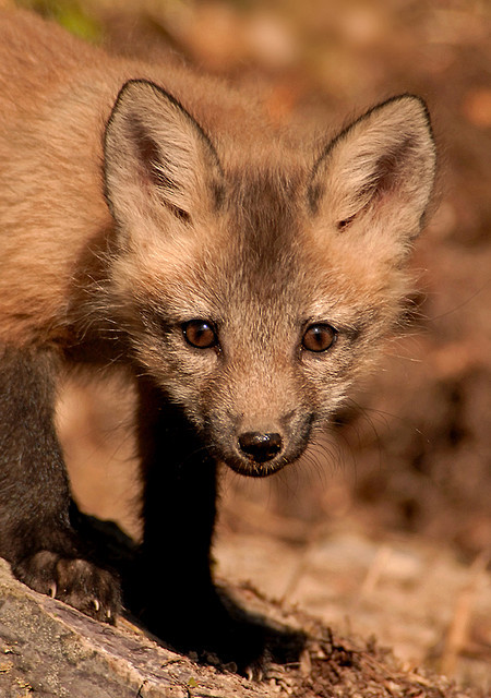 worldlyanimals:  Fox Kit LR by sunspotimages on Flickr.