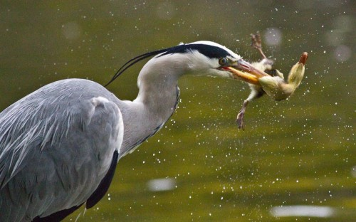 An unsuspecting duckling is caught and eaten by a hungry heron in Herbert Park, Dublin, IrelandPicture: Paul David Hughes / Barcroft Media (via Pictures of the day: 9 May 2012 - Telegraph)