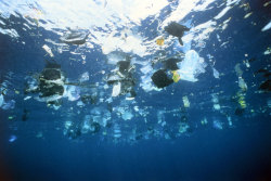 discoverynews:  Pacific Plastic Soup 100-fold Increase The killer soup of microplastic threatens to alter the ocean's natural environment.  The vast swirl of plastic waste floating in the North Pacific has increased 100-fold over the last 40 years, according to a research paper published Wednesday. And scientists warned the killer soup of microplastic — particles smaller than five millimeters (one inch) — threatened to alter the open ocean's natural environment.  keep reading