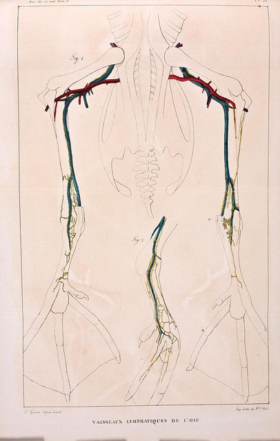Lymphatic vessels of a Goose by BioDivLibrary on Flickr. Annales des sciences naturelles :.Paris :Crochard.biodiversitylibrary.org/page/5755900