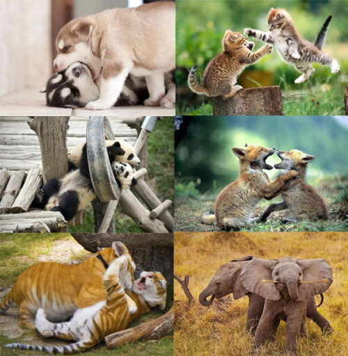 6 pairs of baby animals wrestling. But who is cutest?! (puppies, pandas, tigers, kittens, foxes, elephants)