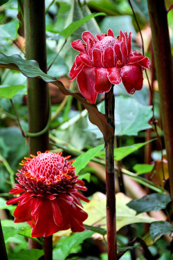 retributionisathand:  emperornorton47:  Torch Ginger on Flickr. Copyright 2009 by Joel Sax  Beautiful!