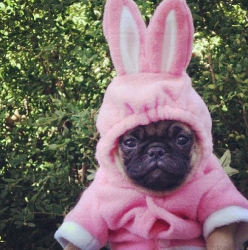 cutepugpics:  It's an Easter Pug, because pugs can't read calendars!   Wow.